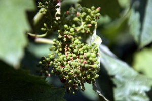 druiven juni2